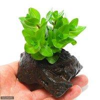 ウォーターバコパ(水上葉) 穴あき溶岩石付(無農薬)(1個)