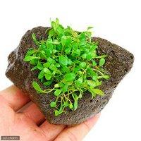 グロッソスティグマ(水上葉) 穴あき溶岩石付(無農薬)(1個)