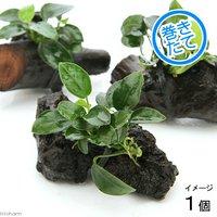 アヌビアスナナ プチ 流木付 ミニサイズ(1本)(約8cm以下)