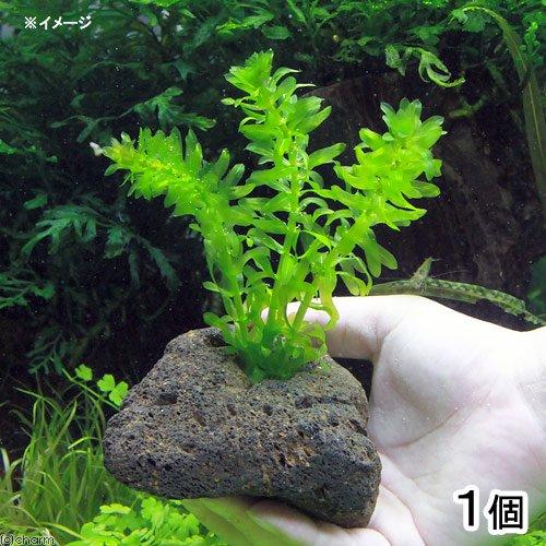 (水草)メダカ・金魚藻 国産 アナカリス 穴あき溶岩石付(無農薬)(1個) 北海道航空便要保温