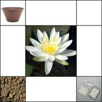 睡蓮 睡蓮(スイレン) 白 1株 +陶鉢寄型360きん茶+ビオの土 3L +固形栄養素 説明書付