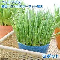 ペットグラス 直径12cmカラーポット植え うさぎの草 燕麦(無農薬)(3ポット)