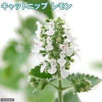 ハーブ苗 キャットニップ レモン 3号(1ポット) 猫草 家庭菜園 クラフト
