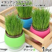 イタリアンライグラス 猫草 直径8cmECOポット植え(無農薬)(ハイミニ ビビ鉢付きグリーン)