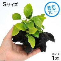 アヌビアスナナ ゴールデン 流木付 Sサイズ(1本)(約15cm)