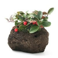 苔盆栽 大実ゴールテリア 溶岩石鉢植え(1鉢)