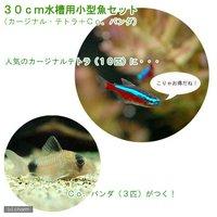 30cm水槽用小型魚セット(カージナルテトラ10匹+Co.パンダ3匹)