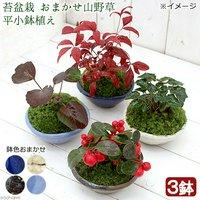 苔盆栽 おまかせ山野草 平小鉢植え 鉢色おまかせ(3鉢)