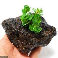 ロタラ ロトンディフォリア(水上葉) 穴あき溶岩石付(無農薬)(1個)