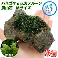 巻きたて ハネゴケsp.カメルーン産 風山石 Mサイズ(約14cm) (無農薬)(3個)