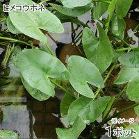水辺植物 河骨 ヒメコウホネ(1ポット) 浮葉植物