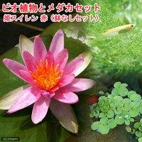 (めだか)ビオ植物とメダカセット 姫睡蓮(ヒメスイレン) 赤 鉢なしセット