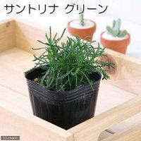 ハーブ苗 サントリナ グリーン 3号(1ポット) 家庭菜園 北海道冬季発送不可