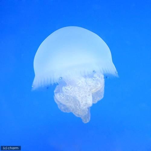 (海水魚)クラゲ ホワイトジェリー Sサイズ(1匹) アクアリウム 海月 北海道・九州航空便要保温