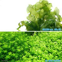 気泡水草セットA モスファン(1)+ラージパールグラス(無農薬)(10本)