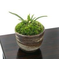 苔盆栽 品種系オモト 群雀 穴有益子焼植木鉢(刷毛目)(1鉢)