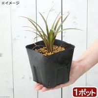 タコノキ 苗 3~4号(1ポット)オカヤドカリ