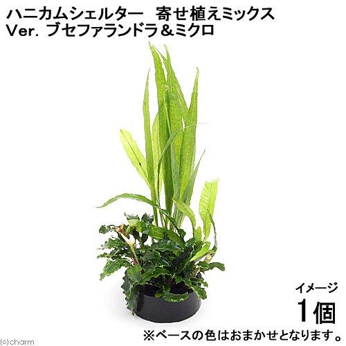 (水草)ハニカムシェルター 寄せ植えミックス Ver.ブセファランドラ&ミクロ(1個)