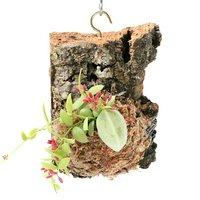 バージンコルクプランツ ディスキディア カンガルーポケット(1個) アリ植物