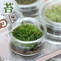 苔Terrarium ヤマゴケ フラットシャーレ 説明書付