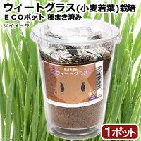 種まき済み ウィートグラス(小麦若葉)栽培 ECOポット(1ポット)
