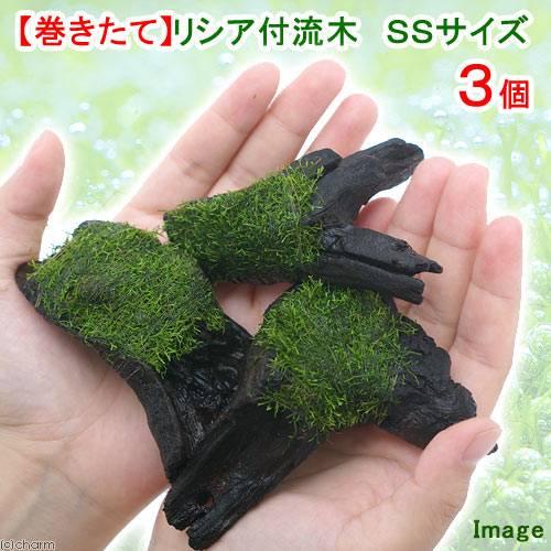 (水草)巻きたて リシア付き流木 SSサイズ(約10cm)(無農薬)(3本)