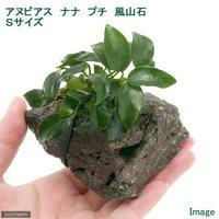 アヌビアスナナ プチ 風山石 Sサイズ(1個)