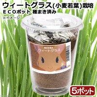 種まき済み ウィートグラス(小麦若葉)栽培 ECOポット(5ポット)