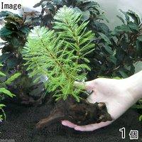 ミリオフィラムsp.オレンジ ローライマ産 流木付 Sサイズ(水上葉)(無農薬)(1本)(約15cm)