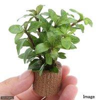 ライフマルチ(茶) ハイグロフィラsp.ダークブラウン タイ産(水上葉)(無農薬)(1個)