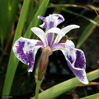 水辺植物 カキツバタ 濡燕 白地に紫 3号(1ポット)