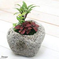 苔盆栽 おまかせ観葉植物 3種アレンジ 抗火石鉢植え Mサイズ(1鉢)