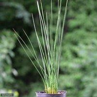 水辺植物 ペンシルグラス(1ポット分) 湿生植物