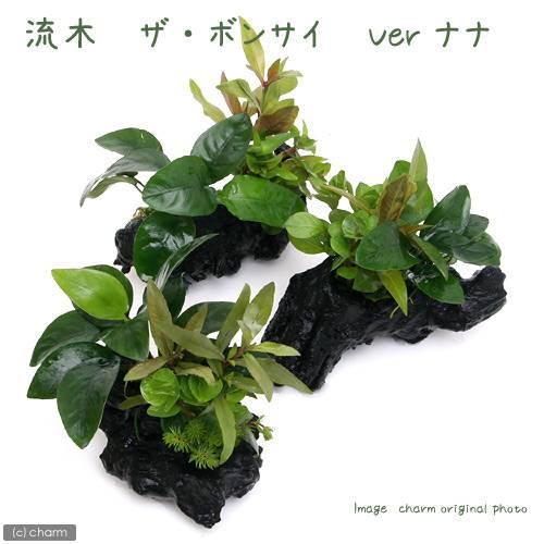 (水草)流木 ザ ボンサイ Ver.アヌビアスナナ Sサイズ(1本)(約15cm) 北海道航空便要保温