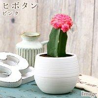 サボテン ヒボタン(緋牡丹) ピンク系 2.5号(1ポット)