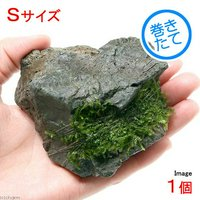 巻きたて ウィローモスsp.タイプ1 風山石 Sサイズ(無農薬)(1個)