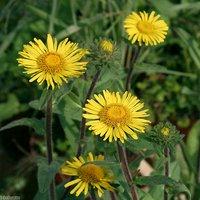 水辺植物 ミズギク(1株) 湿性植物