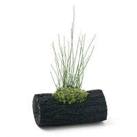 苔盆栽 炭鉢植え ヒメトクサ Lサイズ(1鉢)