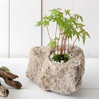 苔盆栽 抗火石鉢植え 紅葉(モミジ 品種おまかせ)Sサイズ(1鉢)飾り石つき