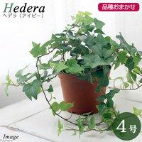 ヘデラ(アイビー) 品種おまかせ 3.5~4号(1鉢) 北海道冬季発送不可