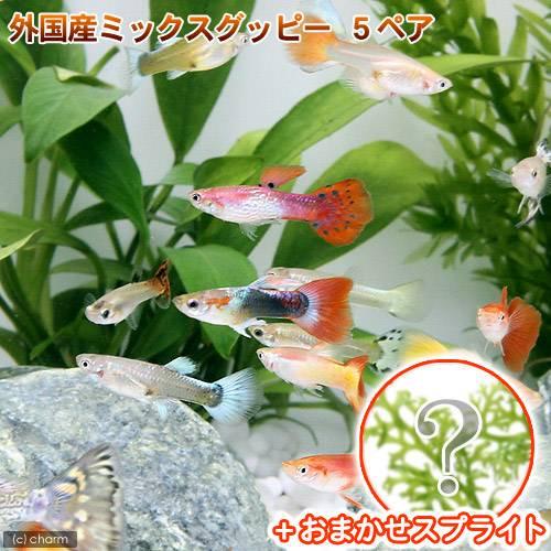 (熱帯魚 水草)外国産ミックスグッピー(5ペア)+スプライト1種(3株セット) 北海道・九州航空便要保温
