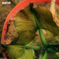水辺植物 河骨 ネムロコウホネ(エゾコウホネ)(1ポット)浮葉植物