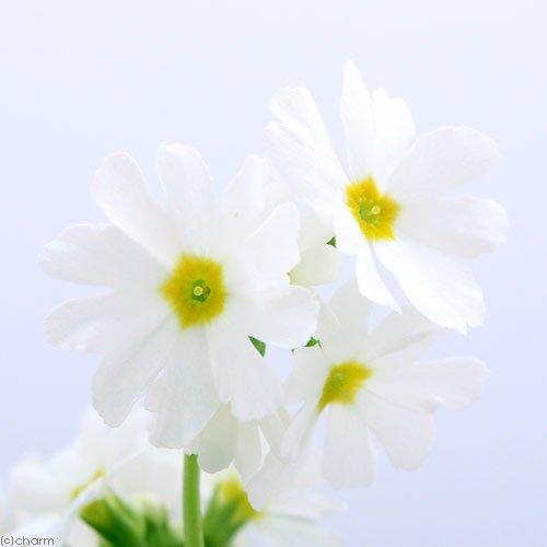 (山野草)白花ミチノクコザクラ(陸奥小桜) 3号(1ポット分)