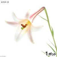 ヒメタカサゴユリ(姫高砂百合)苗 3号(1ポット) (休眠株)
