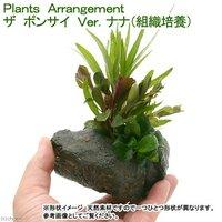 Plants Arrangement ザ ボンサイ Ver.組織培養 ナナ(無農薬)(1個)
