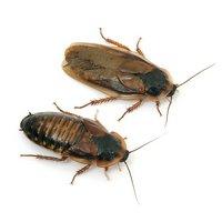 デュビア(アルゼンチンモリゴキブリ) Lサイズ(30匹)