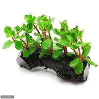 ウォーターウィステリア 流木付 Sサイズ(水上葉)(無農薬)(1本)(約15cm)