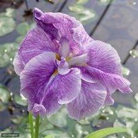 水辺植物 花菖蒲 越後獅子(エチゴジシ)肥後系薄紫八重咲(1ポット)
