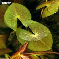 睡蓮 エゾベニヒツジグサ(1ポット)浮葉植物(休眠株)
