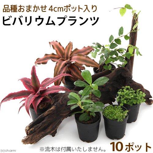 (観葉植物)ビバリウムプランツ 品種おまかせ 3cmポット入り(10ポット)